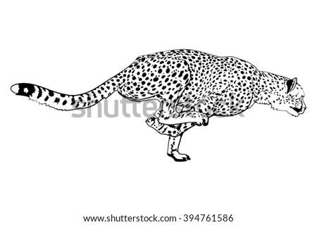 Running cheetah vector - photo#12