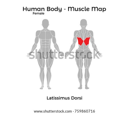 Latissimus Dorsi Stock Images, Royalty-Free Images ...