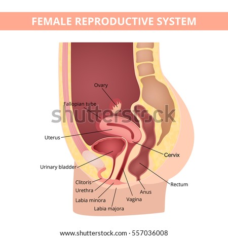 And vagina urthra of diagram