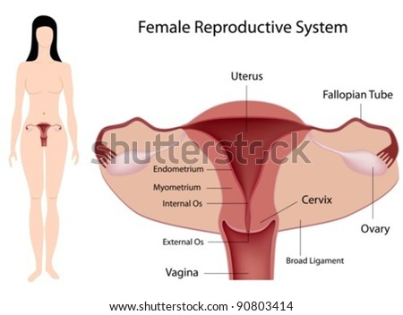 Female Reproductive System - stock vector