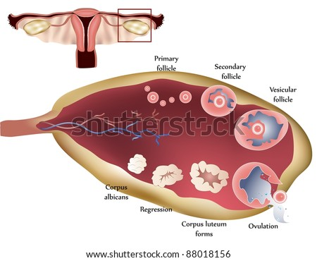 Female reproductive system. Female Ovary. Showing ovulation step by step. - stock vector