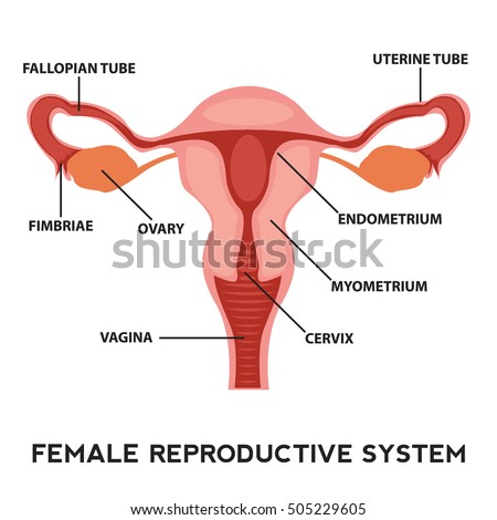 Anatomy and diagram and vagina