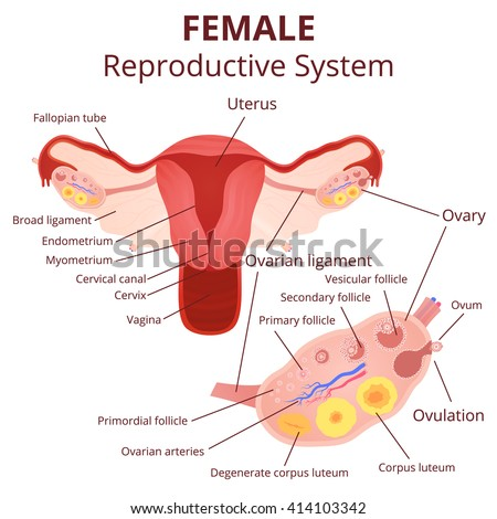 Ovary Stock Images, Royalty-Free Images & Vectors | Shutterstock