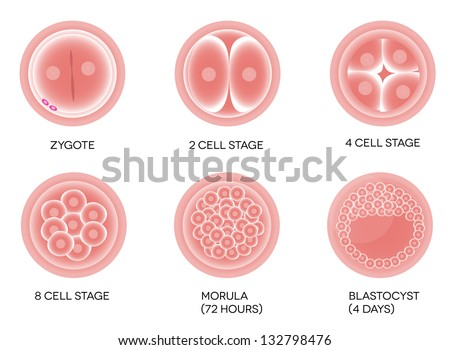 Fertilized egg development. Isolated on a white background. - stock vector