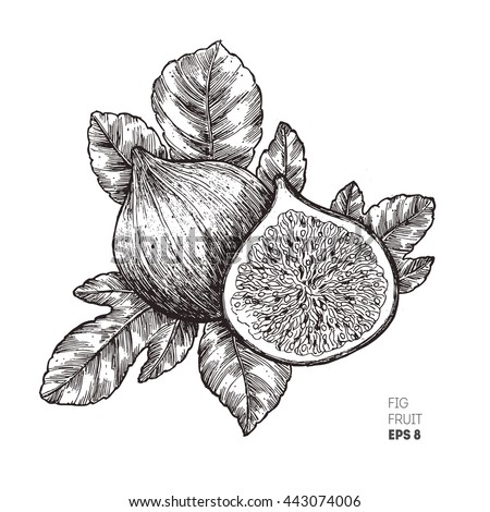 Fig fruit illustration.  Engraved style illustration. Vintage sketch fruit. Vector illustration - stock vector