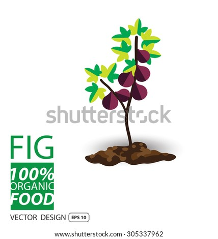 Fig, fruits vector illustration. - stock vector