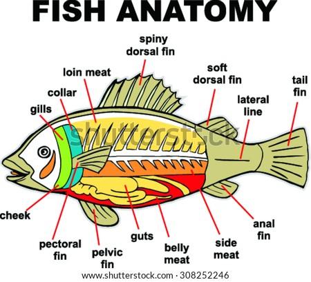 100 fish anatomy worksheet comparative anatomy wikipedia solid gold goldfish internal. Black Bedroom Furniture Sets. Home Design Ideas
