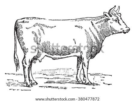 Flemish cow, vintage engraved illustration. Dictionary of words and things - Larive and Fleury - 1895. - stock vector