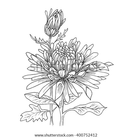Flower hand drawn chrysanthemum isolated on white. Vector. Hand drawn artwork. Love concept for wedding invitations, cards, tickets, congratulations, branding, boutique logo, label.  - stock vector
