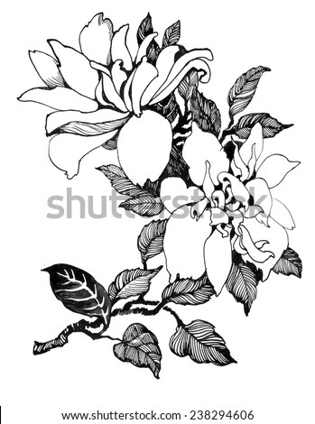 Flowering Branch of Magnolia on white background vector illustration - stock vector