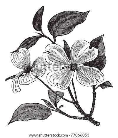 Flowering Dogwood or Cornus florida, vintage engraving. Old engraved illustration of a Flowering Dogwood. Trousset Encyclopedia - stock vector