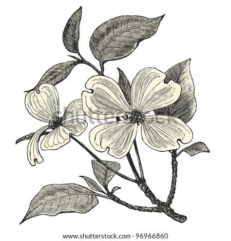 """Flowering Dogwood - vintage engraved illustration - """"Dictionnaire encyclopédique universel illustré"""" By Jules Trousset - 1891 Paris - stock vector"""