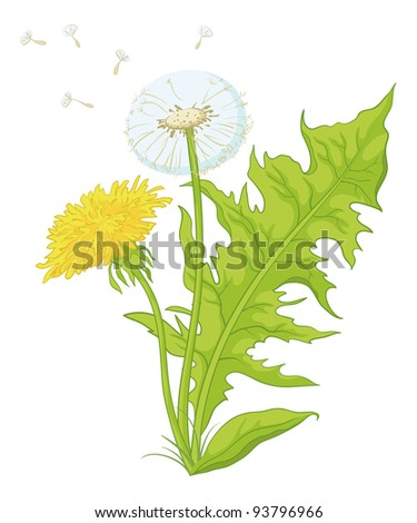 Flowers dandelions with green leaves, yellow, and with seeds. Vector