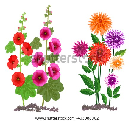 Flowers Growing In The Garden Dahlia And Mallow Isolated On White Background