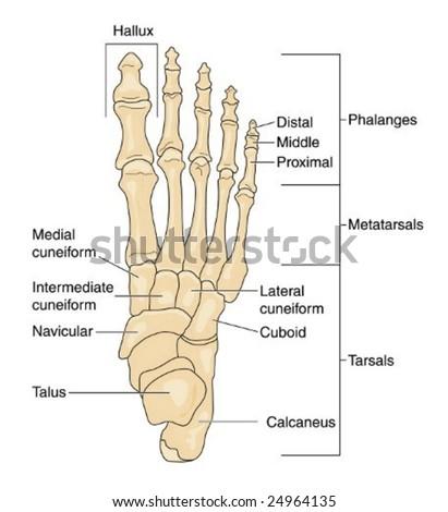 Human Foot Bones Labeled