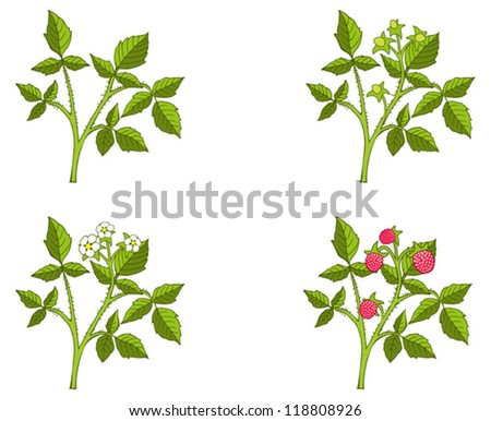 Four phases of raspberry sprout growth, vector illustration - stock vector