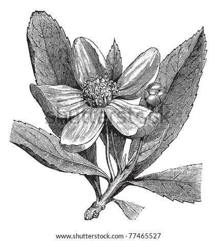 Franklinia or Gordonia pubescens or Franklinia alatamaha or Franklin tree, vintage engraving. . Old engraved illustration of Franklinia, isolated on a white background. Trousset Encyclopedia. - stock vector