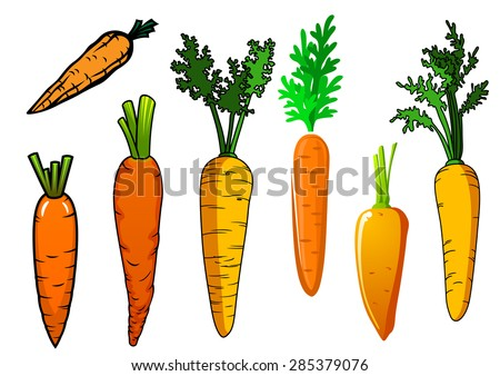Fresh isolated orange carrot vegetables with lush green leaves for food and nutrition design - stock vector