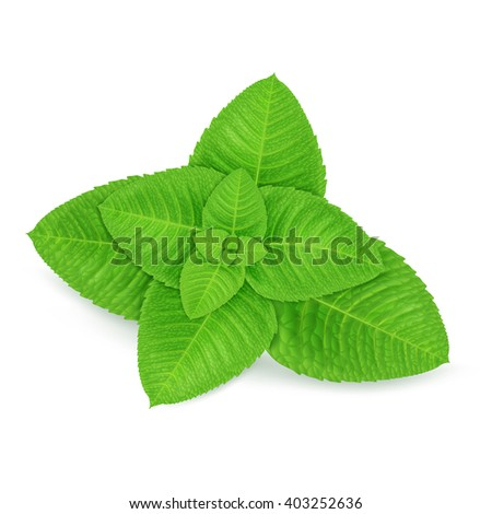 Fresh mint leaves isolated on white background. Realistic vector illustration.