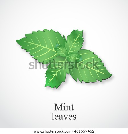 Fresh mint leaves, vector illustration.