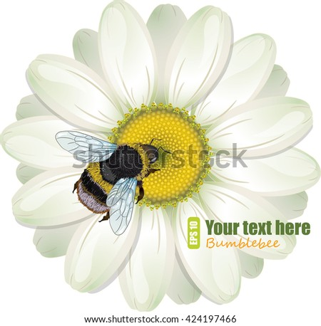 Furry bumblebee and White Daisy, isolated on white, vector illustration, eps-10 - stock vector