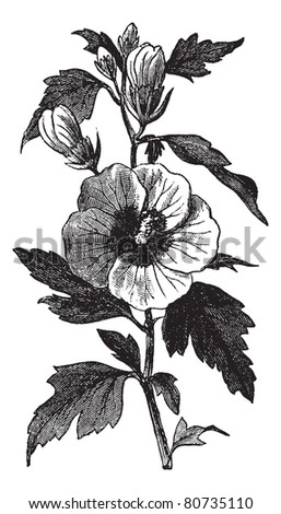 Garden hibiscus (Hibiscus syriacus) or Shrub Althea or Rose of Sharon or Rose Althea vintage engraving. Old engraved illustration of Hibiscus syriacus.  Trousset encyclopedia (1886 - 1891). - stock vector