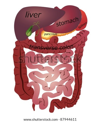 Gastrointestinal tract. White background. - stock vector
