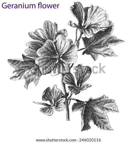 geranium flower. hand drawn. - stock vector
