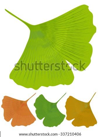 Ginkgo Biloba Isolated Leaf Medicinal Tree With Anti Oxidant Effect Three