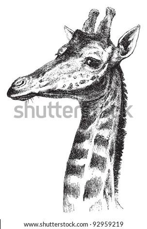 Giraffe head / vintage illustration from Meyers Konversations-Lexikon 1897 - stock vector