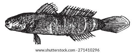 Gobiosoma bosc, vintage engraved illustration. - stock vector