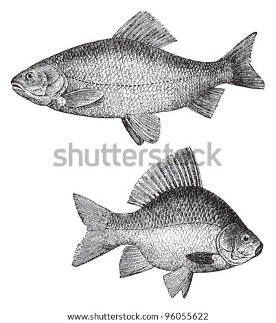 Golden ide (Leuciscus idus melanotus) above and Crucian carp (Carassius carassius) under / vintage illustration from Meyers Konversations-Lexikon 1897