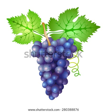 grapes branch - stock vector