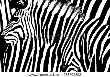 Graphic zebra design with animal blended over itself to create an abstract pattern. - stock vector