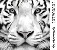 Gray scale closeup portrait of a white bengal tiger. Oil painting style. The biggest cat. Wild beauty of the most dangerous and mighty beast. Vector illustration. - stock