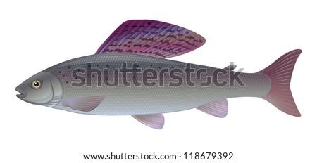 "Grayling - (Thymallus thymallus) Freshwater Sport Angler Fish ""Full compatible CMYK gradients"" - stock vector"