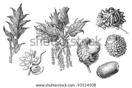 Greek oak (Quercus graeca) / vintage illustration from Meyers Konversations-Lexikon 1897 - stock vector