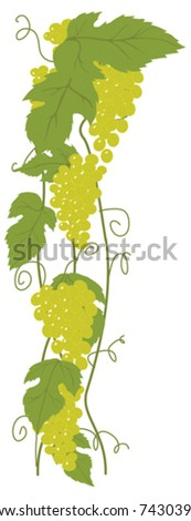 Green grapes. Vector illustration element - stock vector