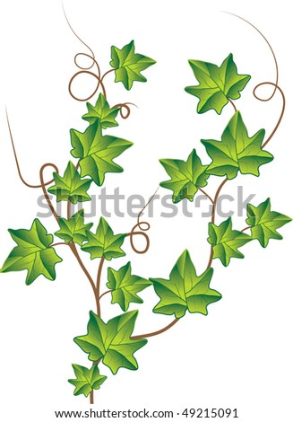 Green ivy. Vector Illustration - stock vector