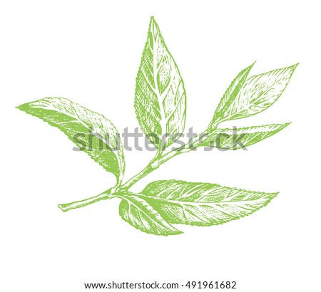 Green Tea Leaf Hand Drawing Sketch A Sprig Of Leaves With The Stem