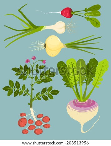 Growing Root Vegetables with Greens Collection. Vegetable gardening and cooking illustration. Layered vector EPS8 - stock vector
