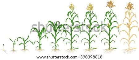 Corn Plant growth corn plant stock vector 390398818 - shutterstock