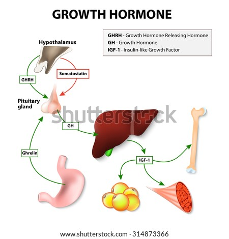 Growth hormone or somatotropin secreted by the pituitary gland. Growth hormone-releasing hormone stimulates anterior pituitary gland to release GH. The target of Growth hormone: liver, bone and muscle - stock vector