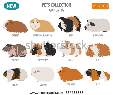 Guinea pig breeds icon set flat stock vector 632953388 shutterstock guinea pig breeds icon set flat style isolated on white pet rodents collection create sciox Gallery