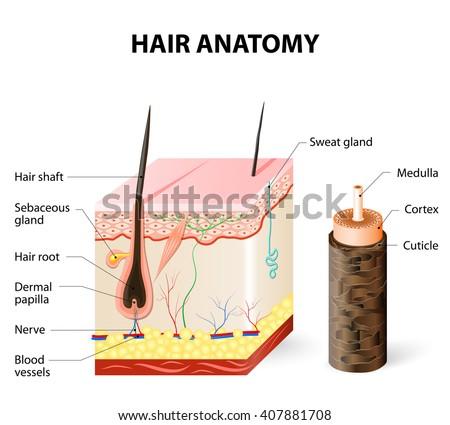 Hair Anatomy Stock Vector Royalty Free 407881708 Shutterstock