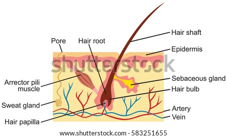 hair human skin anatomy illustration stock vector royalty. Black Bedroom Furniture Sets. Home Design Ideas