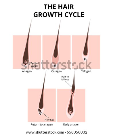 Hair Growth Phase Anatomy Diagram Human Stock Vector Royalty Free
