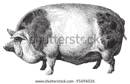 Hampshire pig / vintage illustration from Meyers Konversations-Lexikon 1897 - stock vector