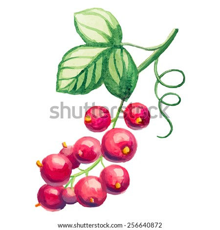 hand draw watercolor red currant - stock vector