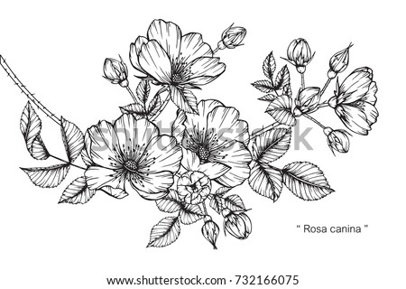 Hand drawing sketch rosa canina flower stock vector 732166075 hand drawing and sketch rosa canina flower black and white with line art illustration mightylinksfo